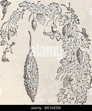 . Balsam Pear. MOMORDICA. Very curious climbing vines, with ornamental foliage, fruit golden-yellow, warted, and when ripe opens, showdng the seed and its brilliant car- mine interior; fine for trellises, rock work, stumps, etc.; annual; 10 feet. 3211 Balsamina {Balsam Apple). Apple- shaped fruit. Oz., 30 cts 5 3212 Charantia {Balsa?H Fear). Pear- shaped fruit. (See cut.) Oz., SOcts.. 5 MUSA EXSETE. (Abyssinian Banana.) 3221 A splendid plant for the open air in summer, producing a most striking eflect when planted singly or in groups. In our hot summer it luxuriates and attains gigantic ]iropo - Stock Photo