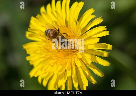 yellow dandelion closeup with bee - Stock Photo