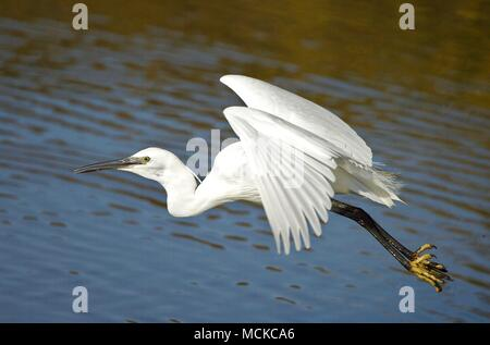 a White Egret flying over a ponds at Lymington Marshes, New Forest, Hampshire UK - Stock Photo
