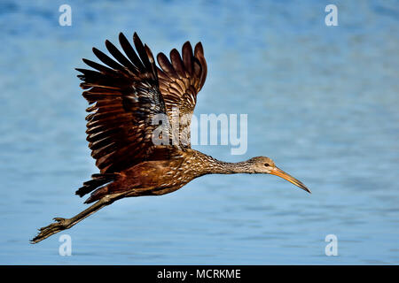 Limpkin in-flight - Stock Photo