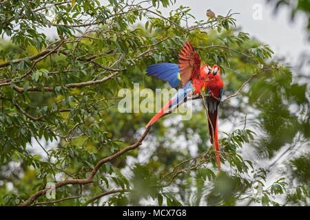 Scarlet Macaw - Ara macao, large beautiful colorful parrot from Central America forests, Costa Rica. - Stock Photo