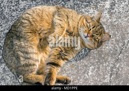 big fat cat sleeps on the street on a concrete road close up in the sun. The concept of stray animals - Stock Photo