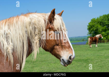 Close-up portrait of a Belgian Draft Horse. Beautiful Texas springtime pasture background with another horse against blue sky. A fence and bluebonnet  - Stock Photo
