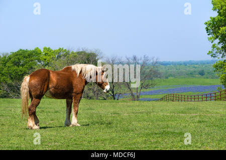 Belgian Draft Horse standing on green Texas spring pasture. A fence, trees, and bluebonnet field background against blue sky. - Stock Photo