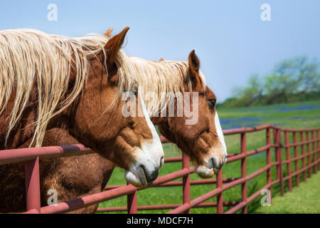 Two Belgian Draft Horses reaching over the fence on beautiful Texas spring pasture. Close-up. Bluebonnet field in the distance, blue sky. - Stock Photo