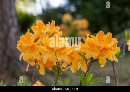 Japanese Azalea, Japansk azalea (Rhododendron japonica) - Stock Photo