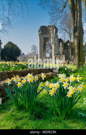Daffodils in bloom in the Museum Gardens around St Marys Abbey, York, North Yorkshire England. - Stock Photo