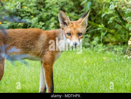 Close up of urban red fox, Vulpes vulpes, standing in London garden, England, UK - Stock Photo