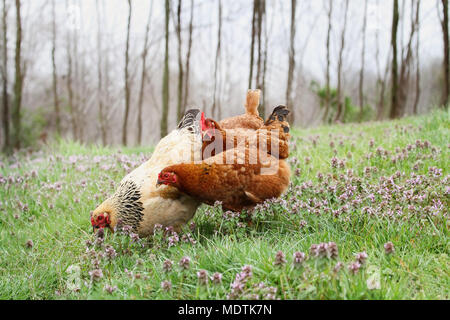 Free range organic chickens foraging in the springtime. Extreme shallow depth of field with selective focus on buff colored hen. - Stock Photo