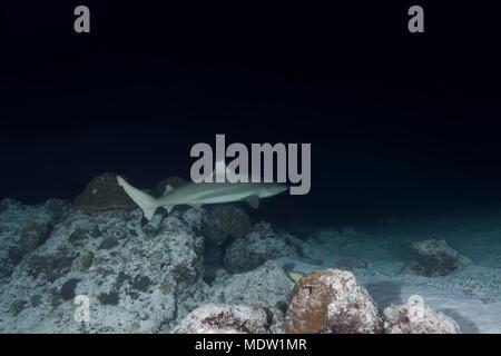 Blacktip Reefshark (Carcharhinus melanopterus) swim in the night - Stock Photo