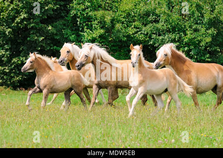 A group of Haflinger horses, mares with frisky foals running together across a green grass pasture, Germany - Stock Photo