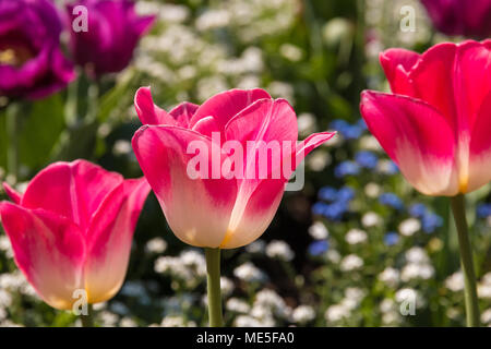 Three pink and white tulips (Tulipa Negrita). The tulip in the middle is in focus. They are surrounded by white and blue forget-me-not flowers. - Stock Photo