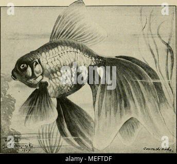 . Die exotischen zierfische in wort und bild . ^Carassius auratus var. japonicus bicauäatus Zern. (Schleierfisch.)^ Stammform. Große Behälter mit guter Bepflanzung (Val- lisnerien) und Durchlüftung sind erforderlich. Fütterung mit Daphnien, Mückenlarven, Enchytraeen etc. ist den Trockenfuttermitteln vorzuziehen, letzteres muß vor dem Verfüttern abgebrüht werden. Geschlechtsunterschiede und die Fortpflanzung sind wie beim Goldfisch (siehe - Stock Photo