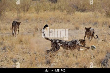 Cheetah in Namibia - Stock Photo