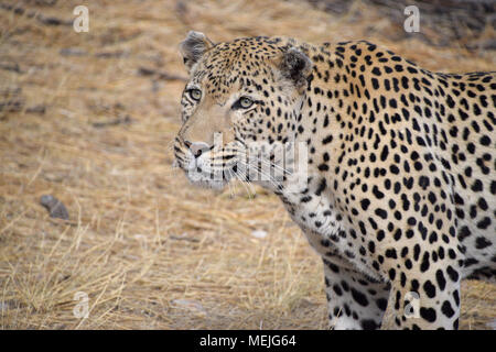 Leopard in Namibia - Stock Photo