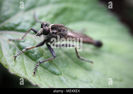 Robber fly also called assassin flies of the Asilidae family. Stunning macro photography close-up. A magnified insect with compound eyes on leaf - Stock Photo