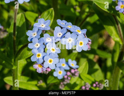 Blue Forget Me Not flowers.  Myosotis arvensis - Stock Photo