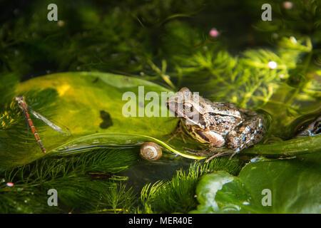 Common Frog - Rana temporaria - Stock Photo