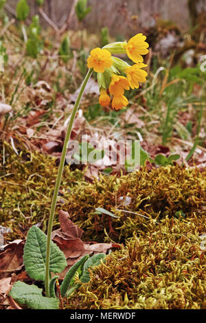 plant of cowslip in full blooming, Primula veris - Stock Photo