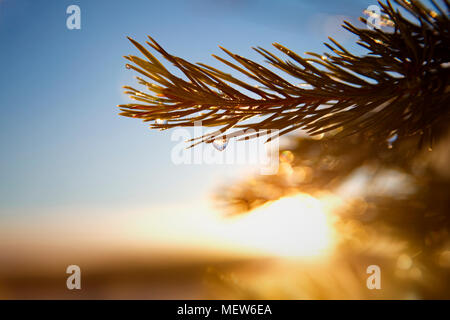 Frost covered dew drops are glittering on fir twigs on a winter morning. - Stock Photo