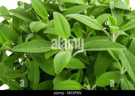 Sage plants (salvia officinalis) background, - Stock Photo