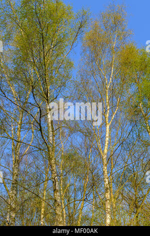 silver birch trees in the sunshine on a spring day with blue sky - Stock Photo