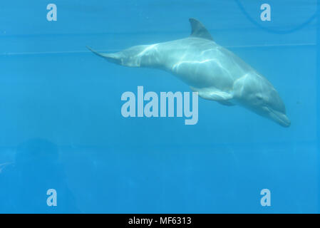 Madrid, Spain. 23rd Apr, 2018. The newborn female Bottlenose dolphin pictured at Madrid Zoo and Aquarium. It was born on April 13 2018 after of 12 months of gestation, weighing about 10 kilograms and measuring about 1 meter. Credit: Jorge Sanz/Pacific Press/Alamy Live News - Stock Photo