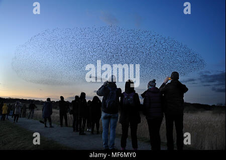 Starling, Sturnus vulgaris, murmuration watched by hundreds of bird watchers on the North Wall at RSPB Minsmere, Suffolk, February - Stock Photo