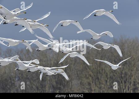 Whooper Swan - Cygnus cygnus - Stock Photo