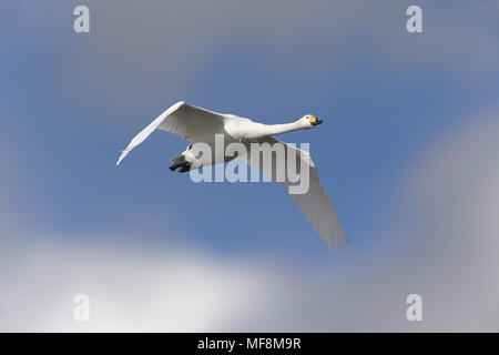 Whooper Swan - Cygnus cygnus - Stock Photo