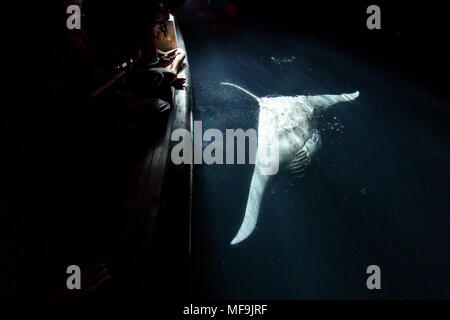 Closeup of Giant manta ray diving near the surface behind boat at night as people watch - Stock Photo