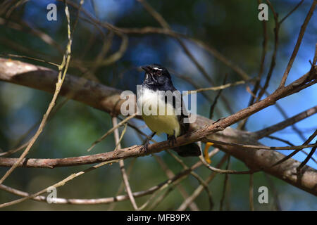 An Australian, Queensland Willie Wagtail, Rhipidura leucophrys resting on a Tree branch - Stock Photo