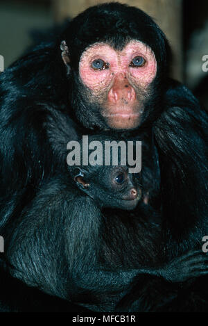GUIANAN or RED-FACED BLACK  SPIDER MONKEY  with baby    Ateles paniscus paniscus Brownsberg Park, Surinam - Stock Photo