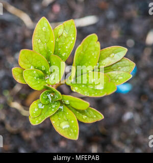 A macro shot of the emerging leaves of a peony sarah bernhardt plant. - Stock Photo