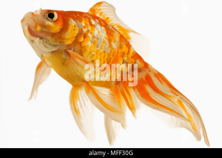 Goldfish (Carassius auratus). Fresh water fish. Variety of fancy goldfish. Close-up of face. Studio shot against white background. Asian origin. Distr - Stock Photo
