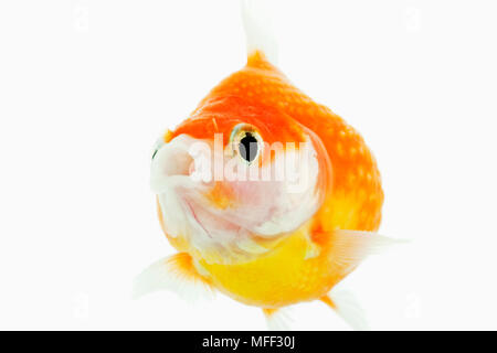 Pearlscale goldfish (Carassius auratus). Fresh water fish. Variety of fancy goldfish. Close-up of face. Studio shot against white background.Asian ori - Stock Photo