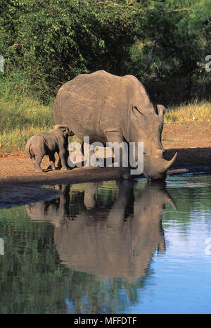 WHITE RHINOCEROS drinking  Ceratotherium simum while her six-week-old calf suckles.  Africa. Endangered species - Stock Photo