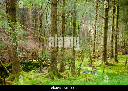 Woodland scene with moss covered trees in Scotland UK - Stock Photo