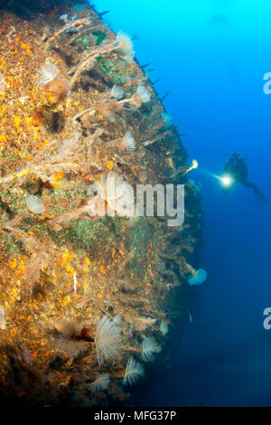 Scuba diver exploring Viana wreck, the hull is covered with spiral Tube-worm, Sabella spallanzani. The vessel set on fire in the Horta harbour. In att - Stock Photo