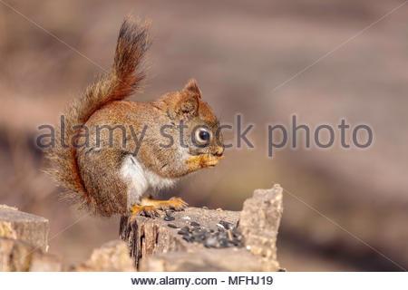 American red squirrel Tamiasciurus hudsonicus pine squirrel North American red squirrel chickaree Whitby Ontario Canada - Stock Photo