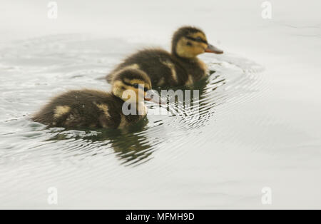 Two cute Mallard duckling (Anas platyrhynchos) hunting for food in a river. - Stock Photo