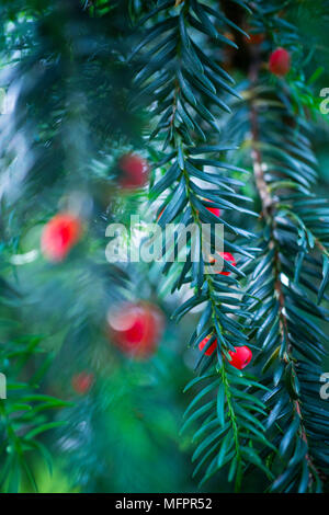 Mature cones, EUROPEAN YEW - TEJO (Taxus baccata), Cantabria, Spain, Europe - Stock Photo