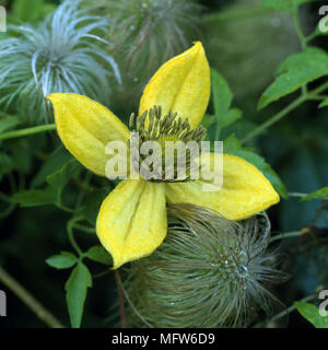 A detail of the climber Clematis Corry yellow flower Clematis is commonly known as Old Man's Beard or Traveller's Joy or Virgin's Bower - Stock Photo