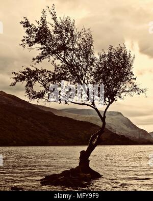 Single tree, the famous lone tree, sitting on a pile of rocks on the shores of Llyn Padarn. Surrounded by lake. Hills, mountains, clouds in the back. - Stock Photo