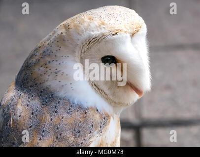 Bird of prey at Alba Falconry bird sanctuary stall, Newkirkgate, Leith, Edinburgh, Scotland, UK. Close up of  common barn owl, Tyto alba - Stock Photo