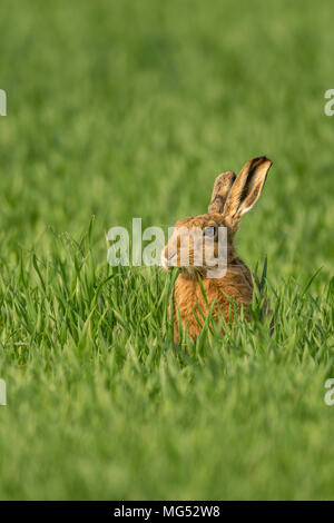 Brown Hare(Lepus europaeus) feeding in a Norfolk cereal crop. United Kingdom. - Stock Photo