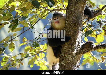 Kunming. 3rd Nov, 2017. File photo taken on Nov. 3, 2017 shows a black snub-nosed monkey, also known as the Yunnan golden monkey, climbing a tree in the Yunnan golden monkey national park in Tibetan Autonomous Prefecture of Deqen, southwest China's Yunnan Province. To keep Yangtze River clean and beautiful, efforts to restore ecological environment have been taken in the upper reaches of Yangtze River in Yunnan Province in recent years. Credit: Lin Yiguang/Xinhua/Alamy Live News - Stock Photo