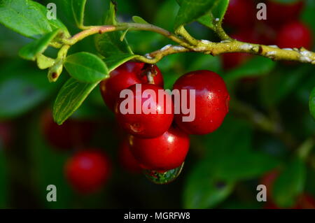 Branch cowberry berries in the morning dew droplets on a summer morning - Stock Photo