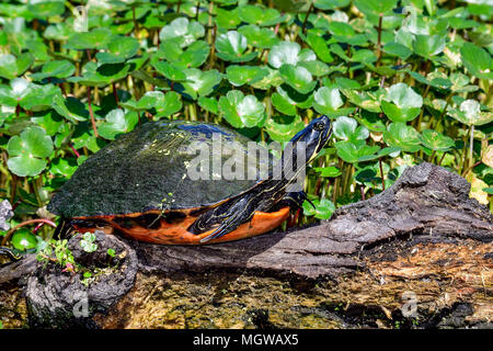 Florida Redbelly Cooter - Stock Photo