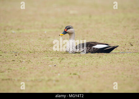 Spot billed ducks are local migrant and visit bharatpur bird sanctuary during winter season - Stock Photo